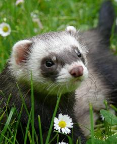 ferret-training1